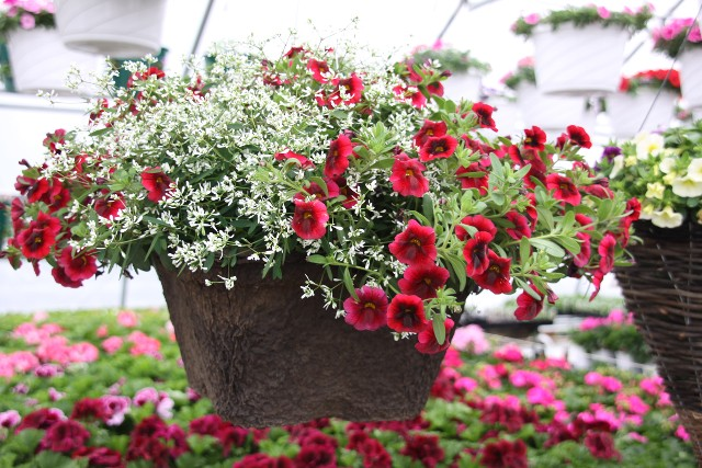 Hanging Basket Flower Plant